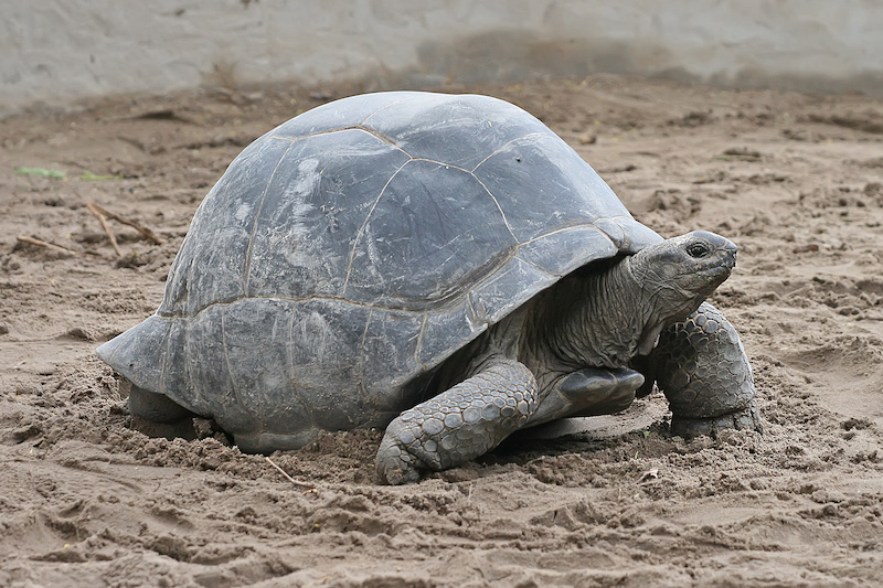 An Aldabra giant tortoise from Zanzibar
