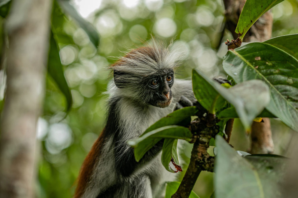 Kirk's red colobus of Zanzibar